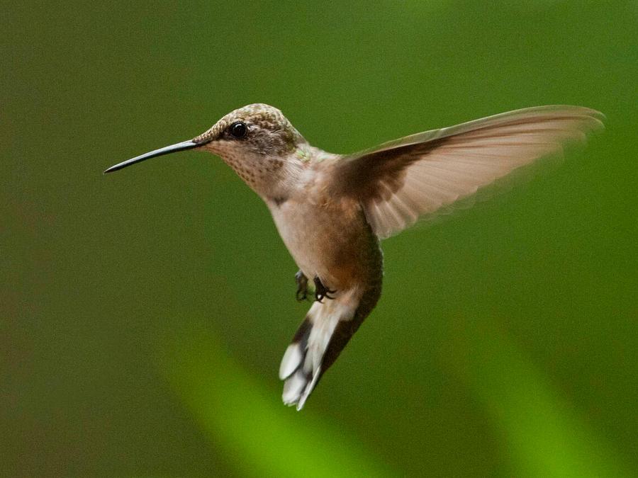 Hummingbird Colibri Wallpaper By MichelLalonde