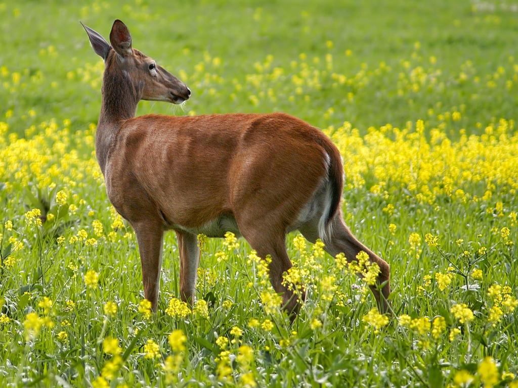 Lone doe seeking safe refuge by michellalonde on deviantart - Doe de toegangsgalerij opnieuw ...