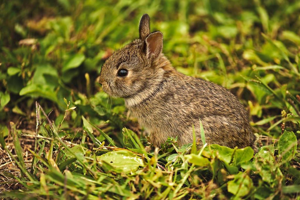 Wild newborn rabbits - photo#1