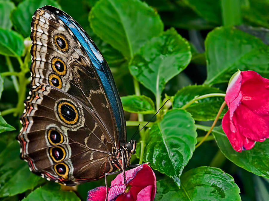 Blue Morpho Butterfly by MichelLalonde