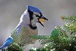 Blue Jay got its treat by MichelLalonde