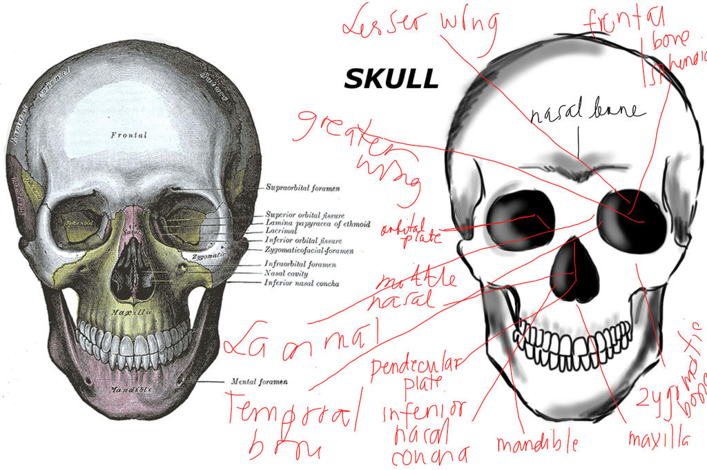 Human skull anatomy by CrazyAzy21 on DeviantArt