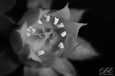 Macro Flower in black and white
