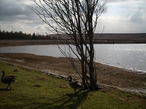 Canada Goose by tree