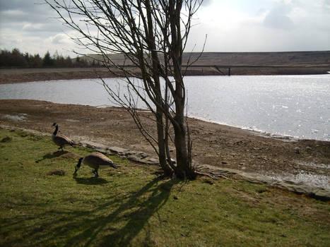 Canada Geese Feeding 2