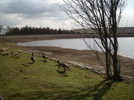 Flock of Canada Geese 2