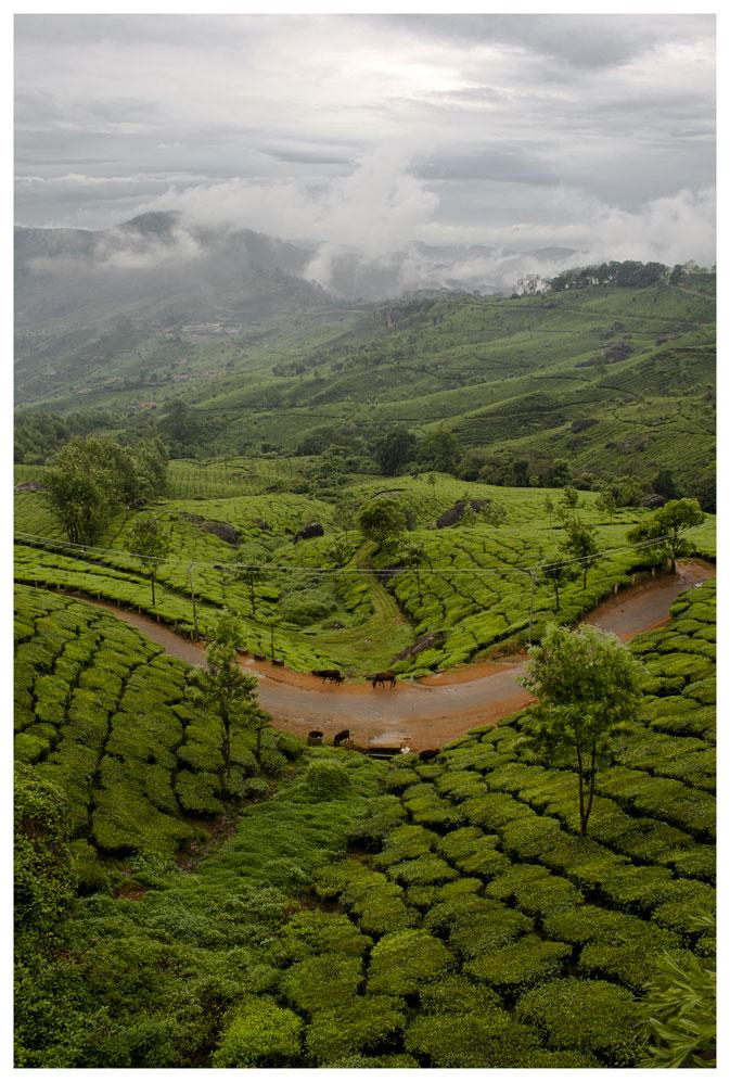 Tea Gardens by AbhaySingh1