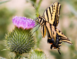 butterfly on thistle by krnc