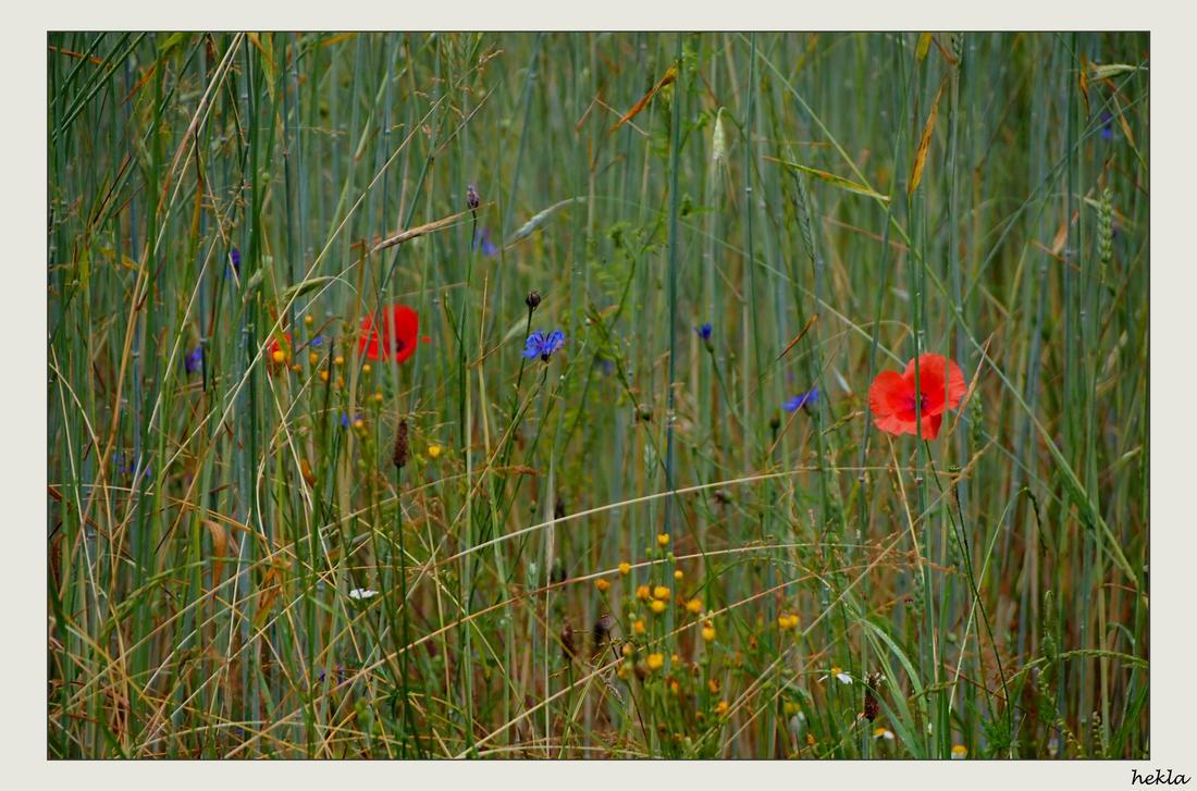 coloured cornfield by hekla01