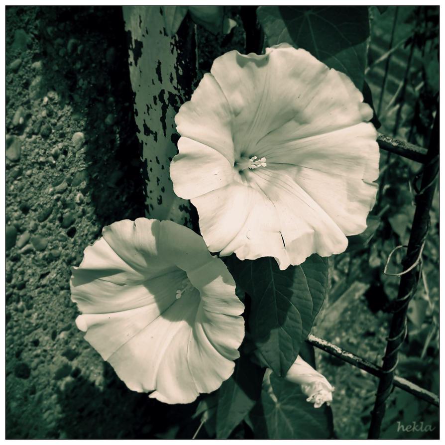 white flower by hekla01