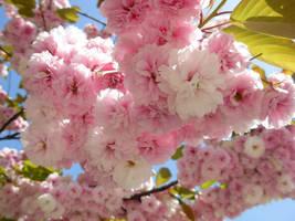 Cherry Tree III by morana-stock