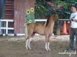 Shetland Show Pony 2
