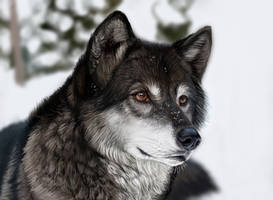 Wolf - digital painting by Maranez