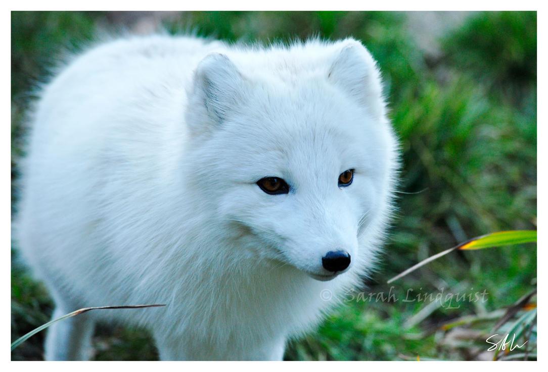 Arctic fox eyes arctic fox by momenti photo
