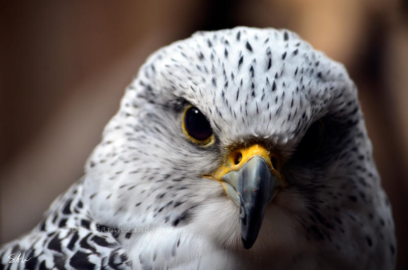 Gyrfalcon by AzureWindProductions
