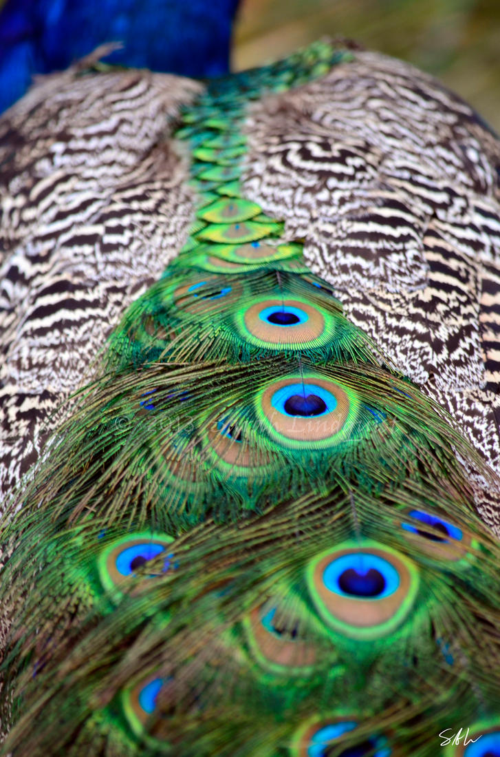 Peacock's Tail by Momenti-Photo