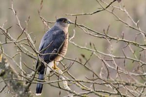 Cooper's Hawk by AzureWindProductions