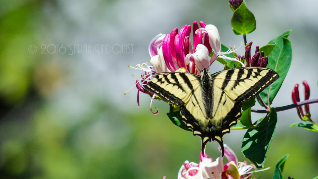 Swallowtail by AzureWindProductions