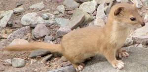 Weasel by swiftmoon-fox