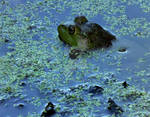 Female American Bullfrog