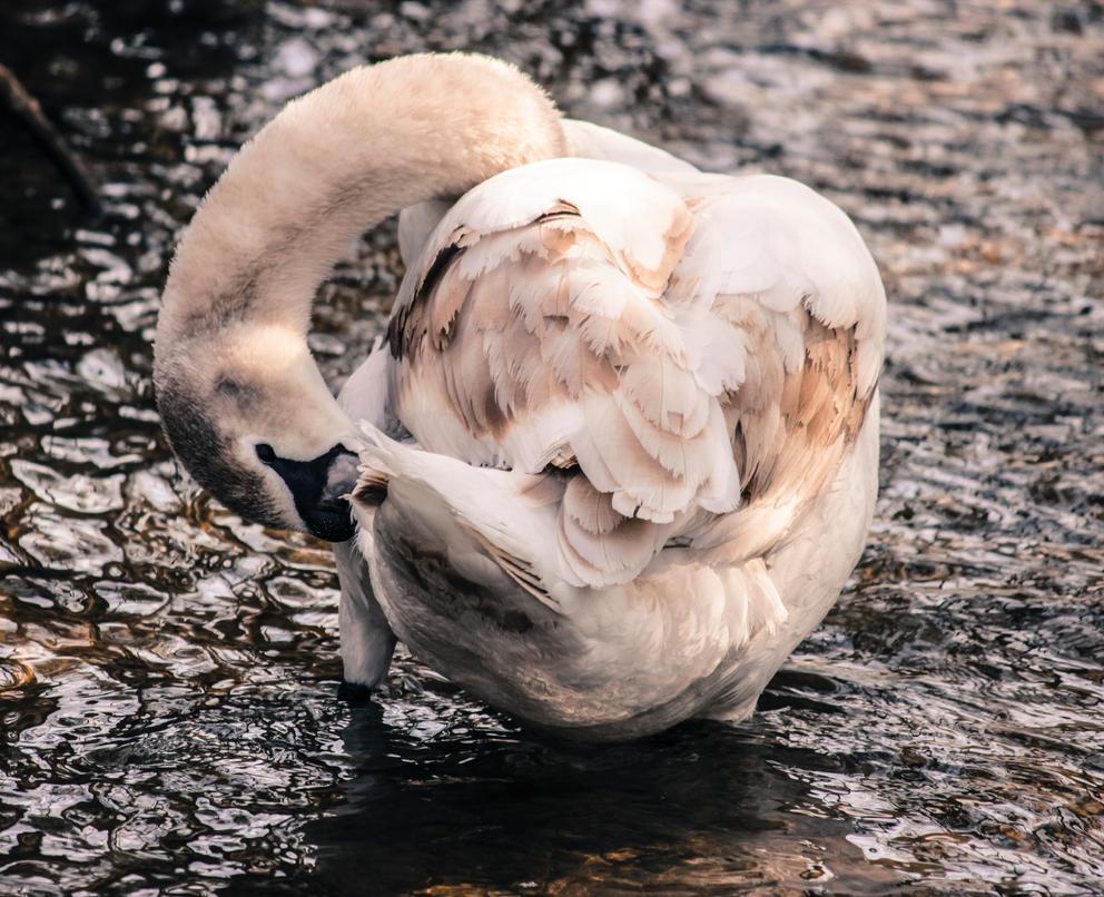 Swan by yuukikatrarra