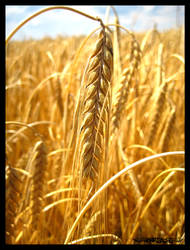 golden wheat by HerrSachs