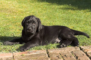 Labrador Puppy Posing by rainey06au