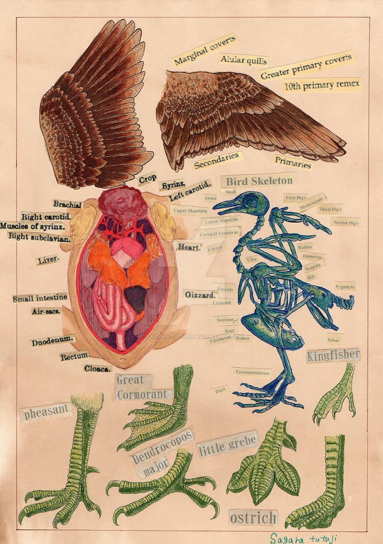 Bird anatomy by sagaratutuji