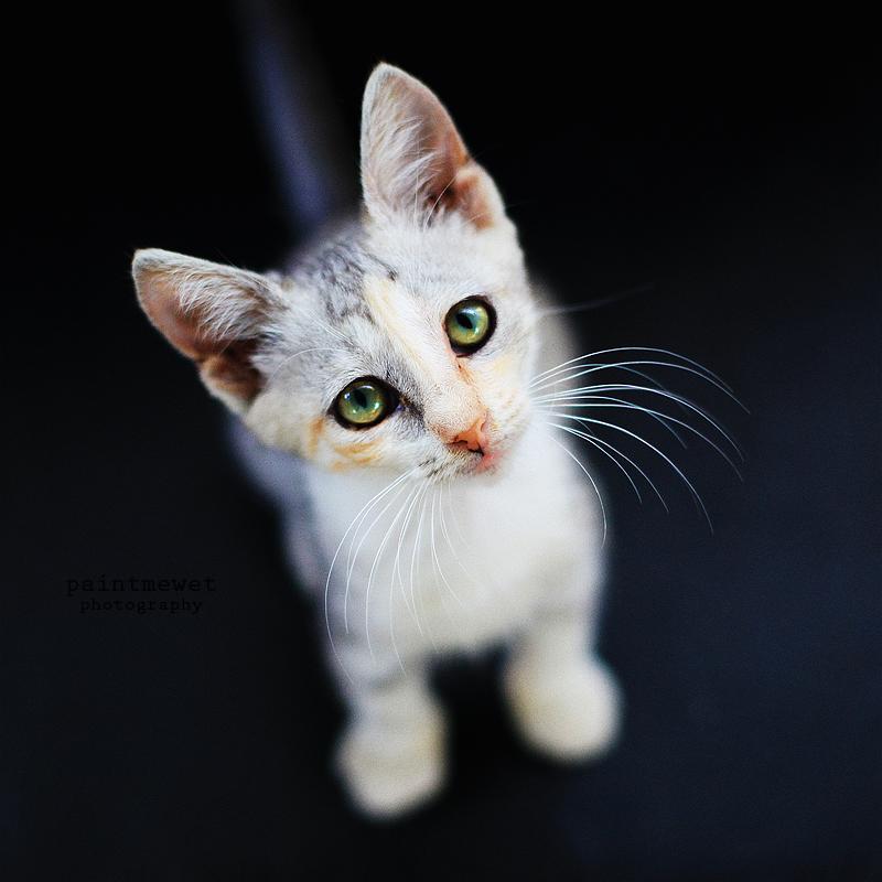 Drama cat by paintmewet