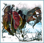 Winter Rests On Autumn Leaves
