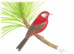 Chipe Rojo (Cardellina rubra)