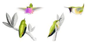 Zumbador Mexicano (Atthis heloisa) en cortejo