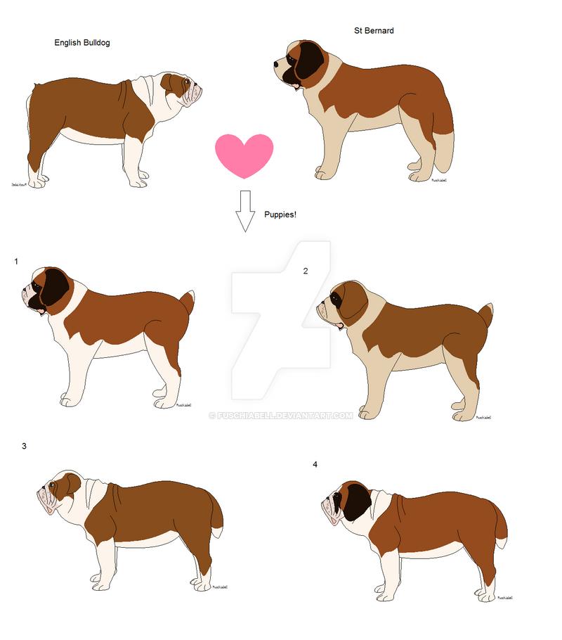 english bulldog x st bernard litter 1 by fuschiabell on deviantart