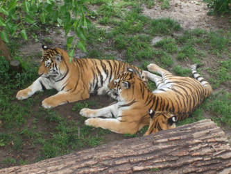 Tiger Family by ShiningEverheart