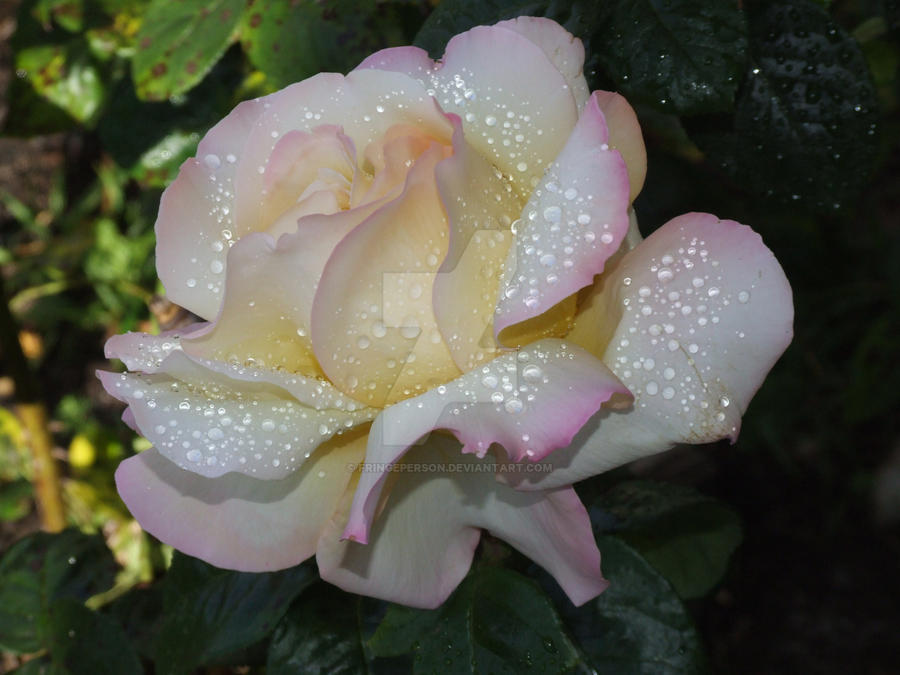 Rose After Rain by fringeperson
