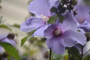 Hibiscus by BludrianFox