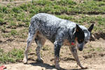 cutest cattle dog ever 2