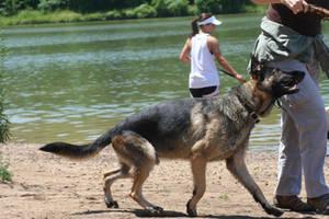 german shepherd dog 9 by jettstock