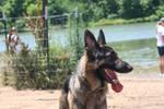 german shepherd dog 14