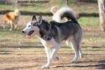 husky 11