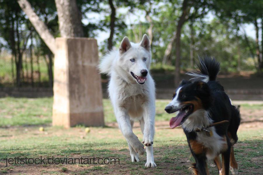 white husky by jettstock
