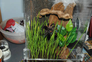 A. Versicolor and Catgrass