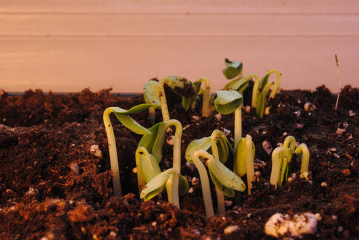 Cucumber Sprouts