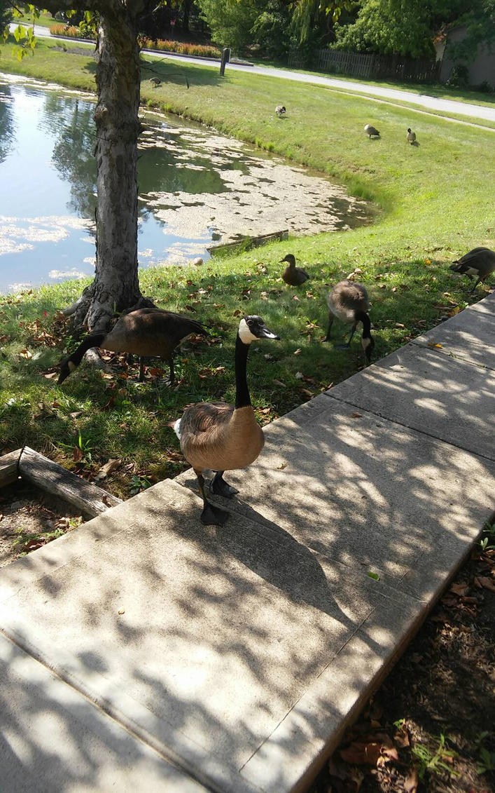 Canadian Geese up close  by dashthefox89
