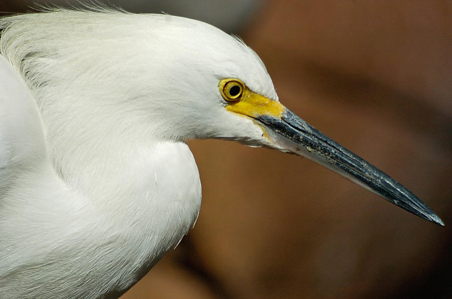 Snowy Egret close up by in-my-viewfinder