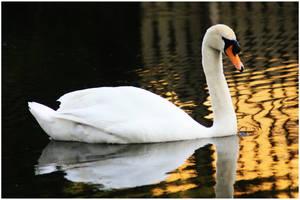 Swan on Ilkeston Canal by DawsonDesigns