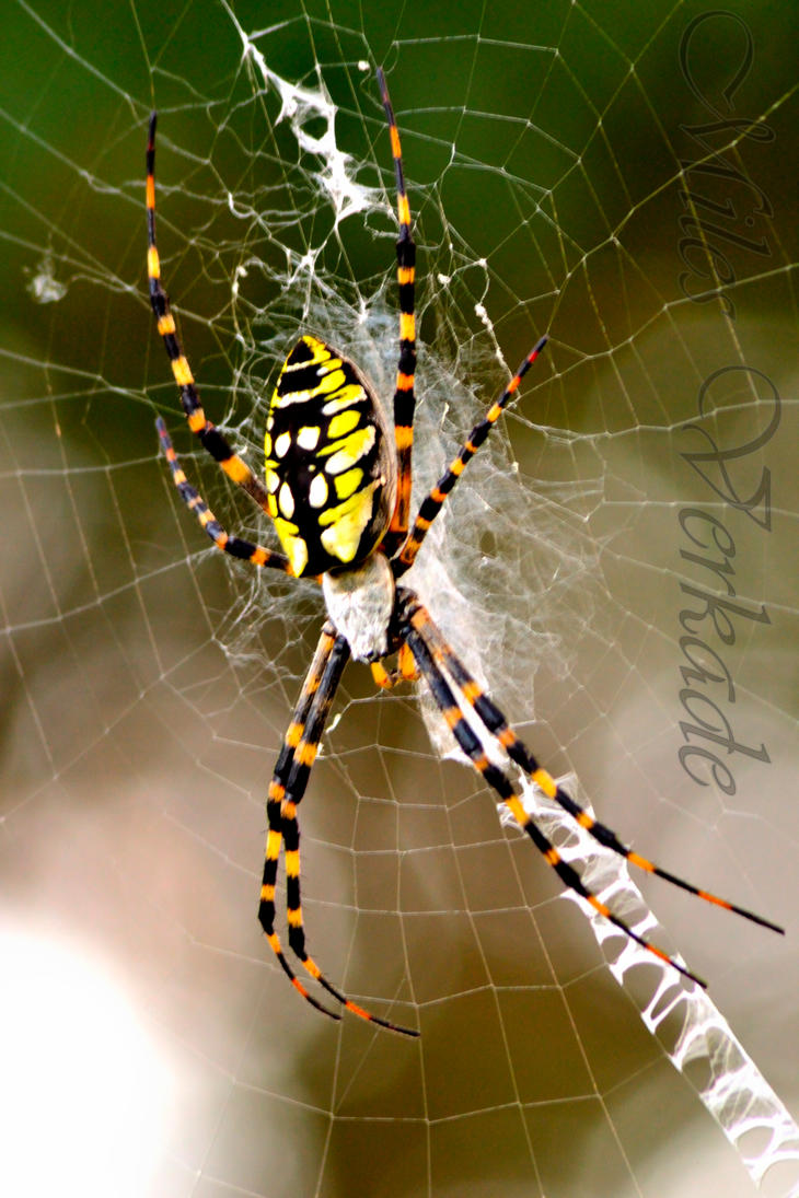 Black and yellow argiope spider by plantm on DeviantArt