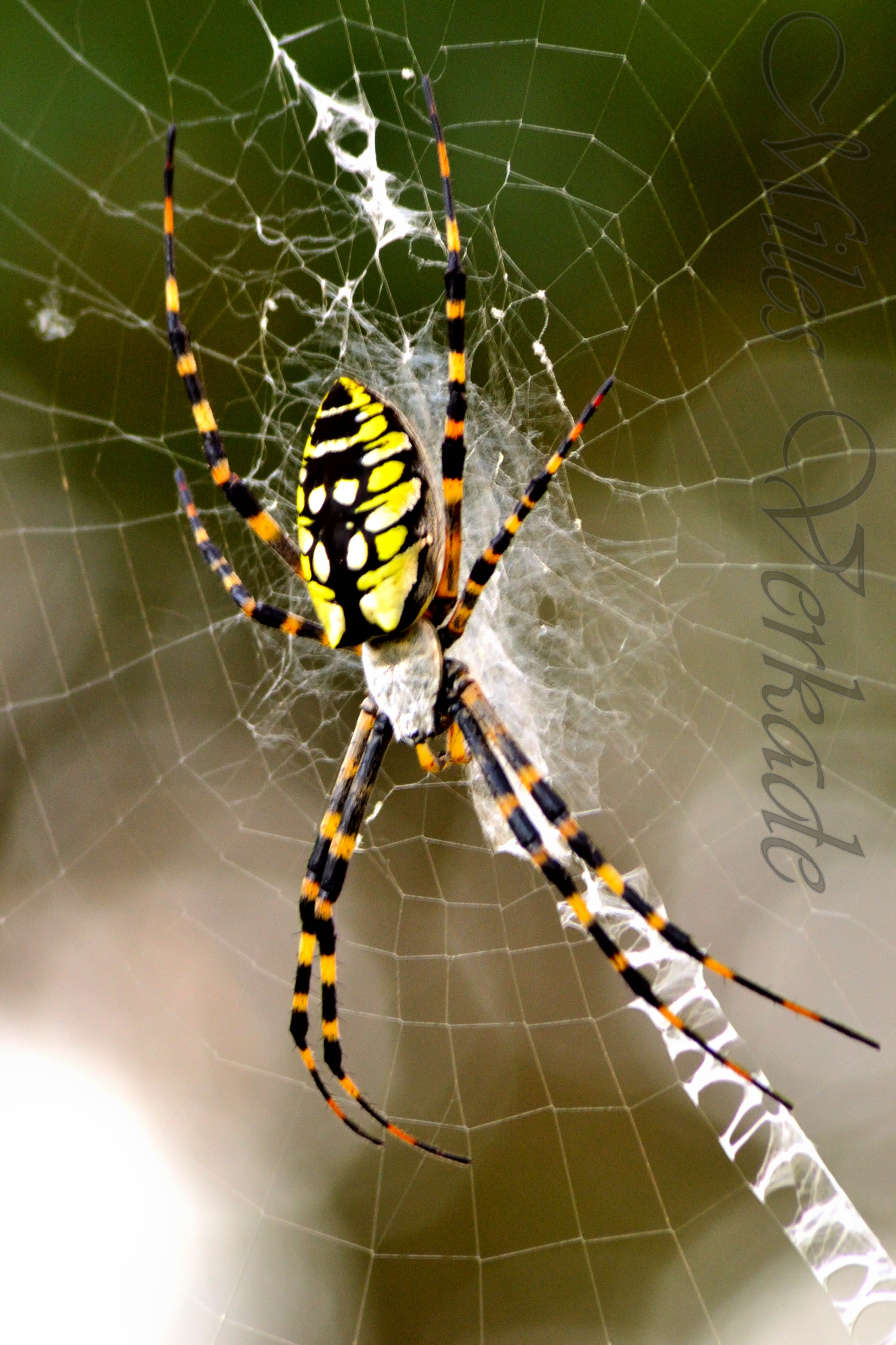 Black and yellow argiope spider by plantm on deviantart for Yellow garden spider poisonous