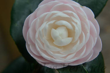 Pink Perfection Camellia by plantm