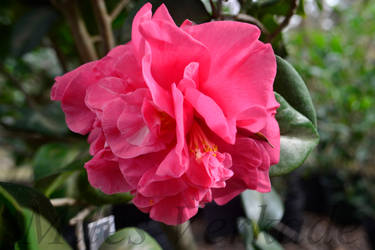 Triple Red w/ Scarce White center stripes Camellia by plantm
